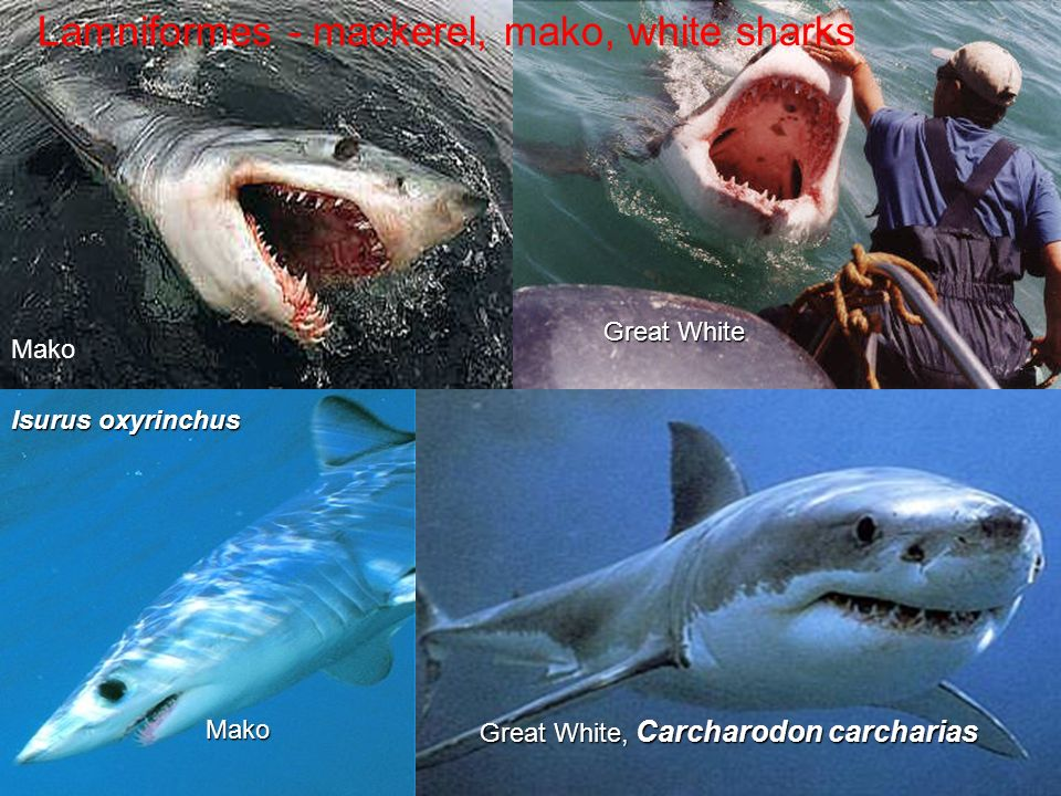Lamniformes - mackerel, mako, white sharks