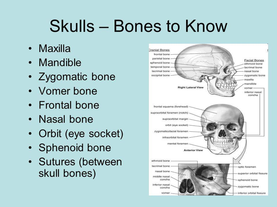 Skulls – Bones to Know Maxilla Mandible Zygomatic bone Vomer bone