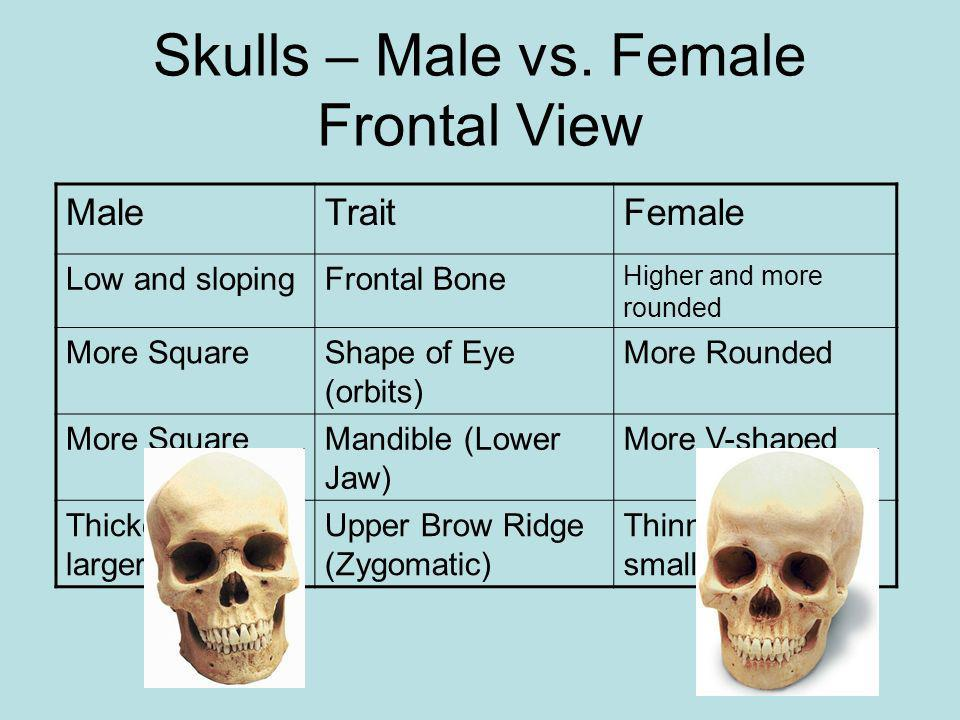 Skulls – Male vs. Female Frontal View
