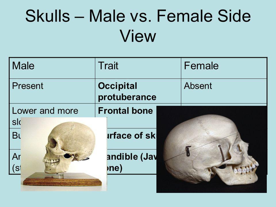 Skulls – Male vs. Female Side View