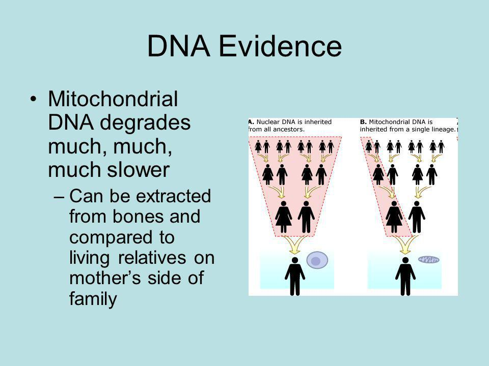 DNA Evidence Mitochondrial DNA degrades much, much, much slower
