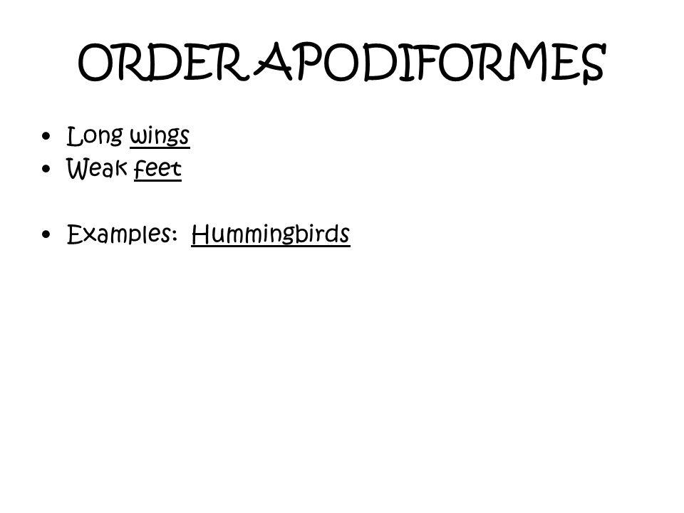 ORDER APODIFORMES Long wings Weak feet Examples: Hummingbirds