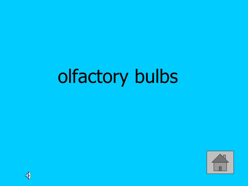 olfactory bulbs