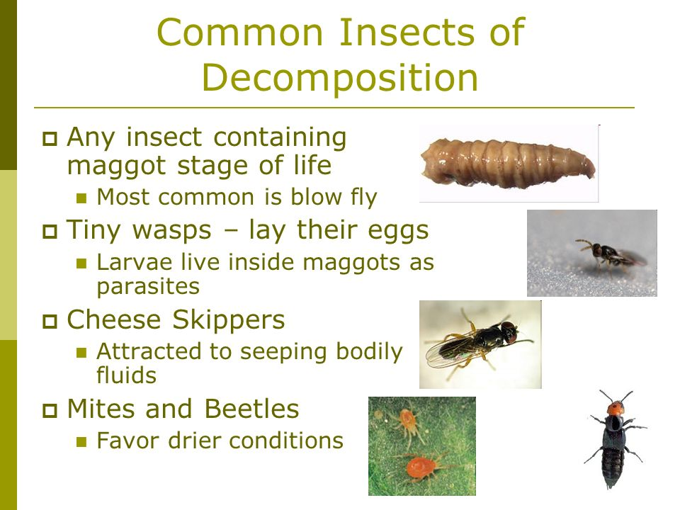 Common Insects of Decomposition