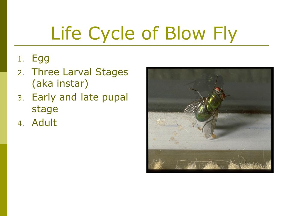 Life Cycle of Blow Fly Egg Three Larval Stages (aka instar)