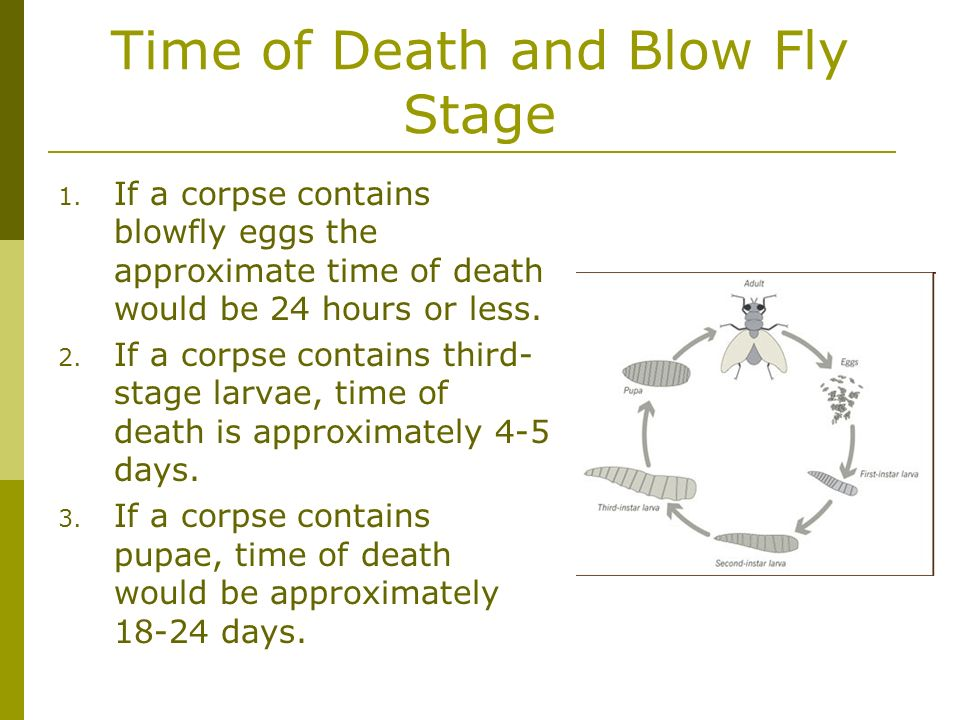 Time of Death and Blow Fly Stage