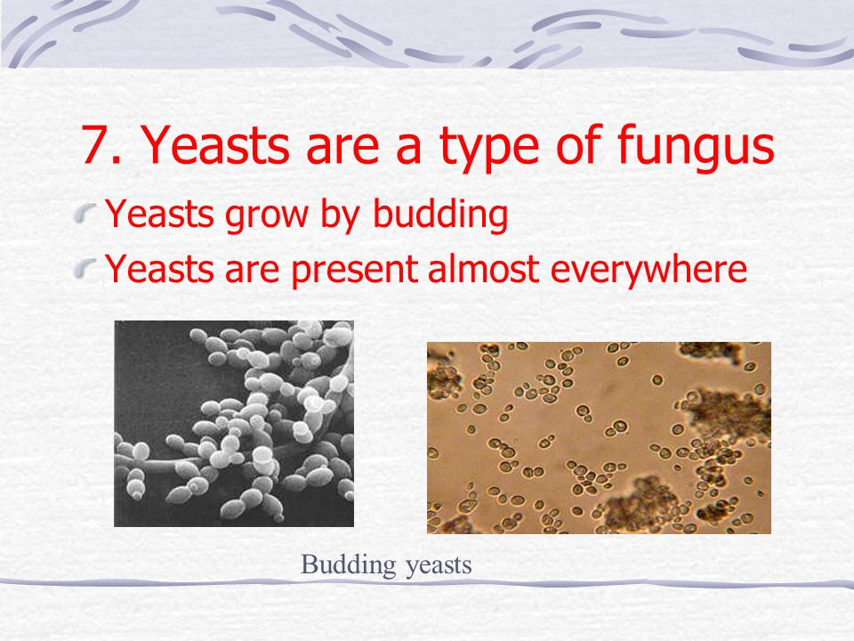 7. Yeasts are a type of fungus