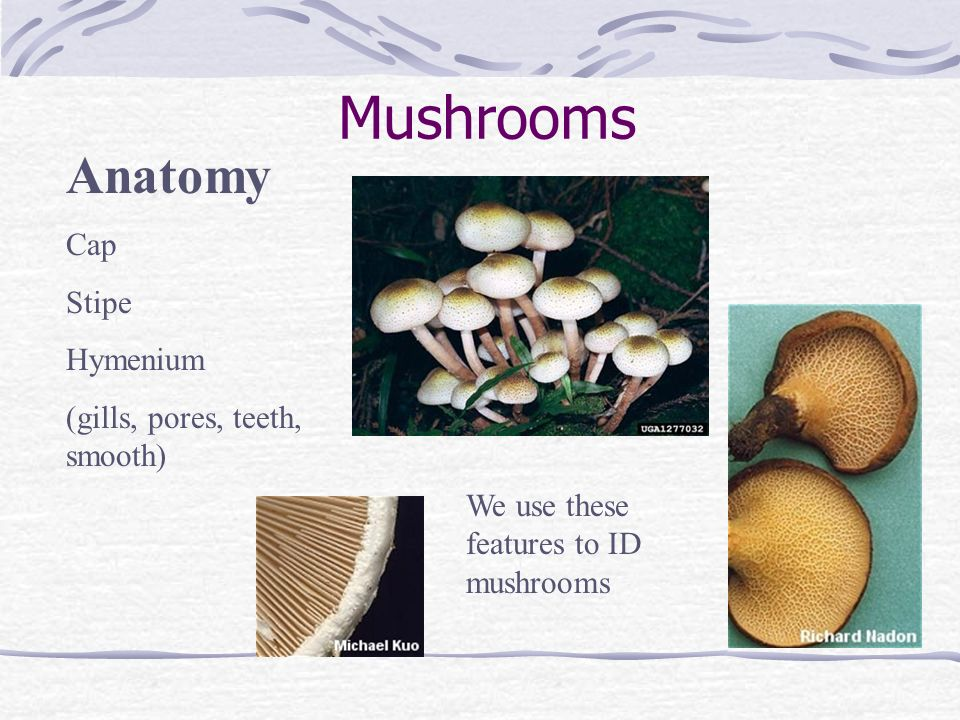 Mushrooms Anatomy Cap Stipe Hymenium (gills, pores, teeth, smooth)