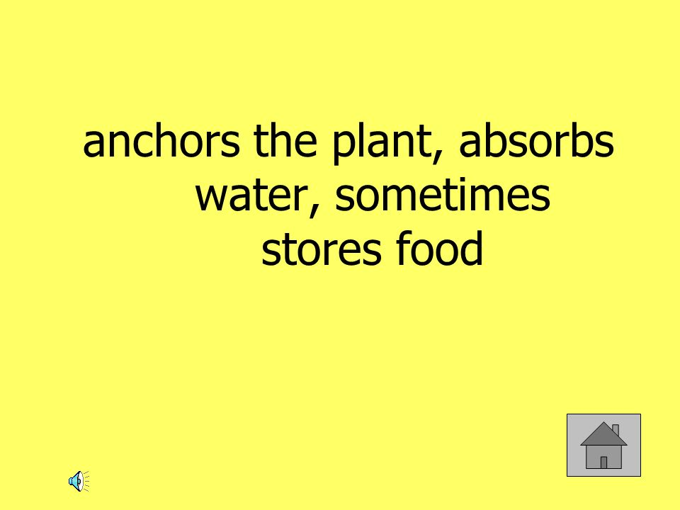 anchors the plant, absorbs water, sometimes stores food