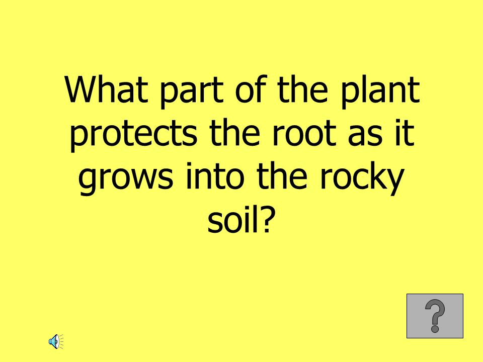 What part of the plant protects the root as it grows into the rocky soil