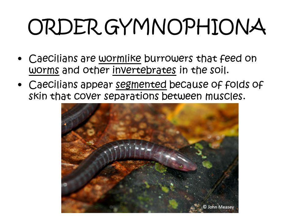 ORDER GYMNOPHIONA Caecilians are wormlike burrowers that feed on worms and other invertebrates in the soil.