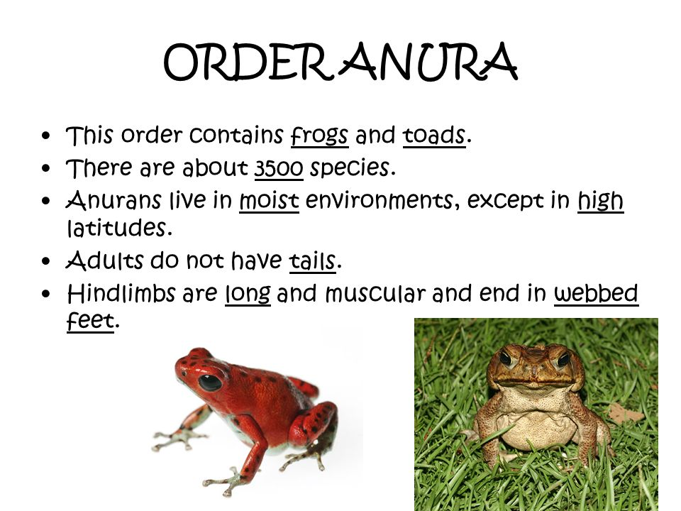 ORDER ANURA This order contains frogs and toads.