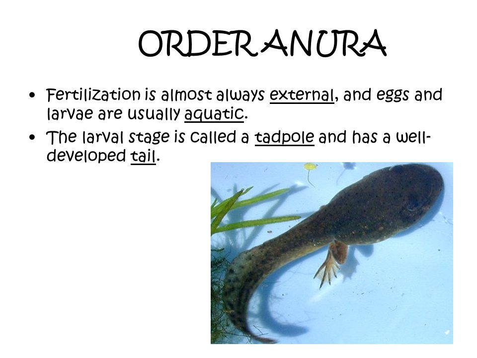 ORDER ANURA Fertilization is almost always external, and eggs and larvae are usually aquatic.