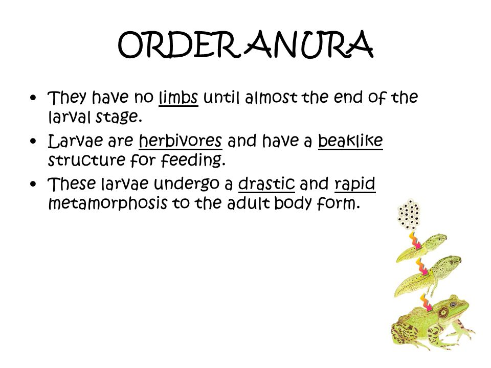 ORDER ANURA They have no limbs until almost the end of the larval stage. Larvae are herbivores and have a beaklike structure for feeding.