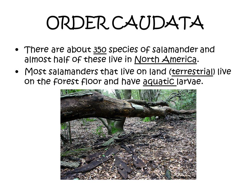 ORDER CAUDATA There are about 350 species of salamander and almost half of these live in North America.