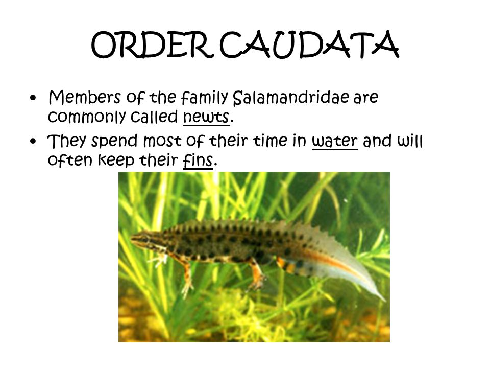 ORDER CAUDATA Members of the family Salamandridae are commonly called newts.