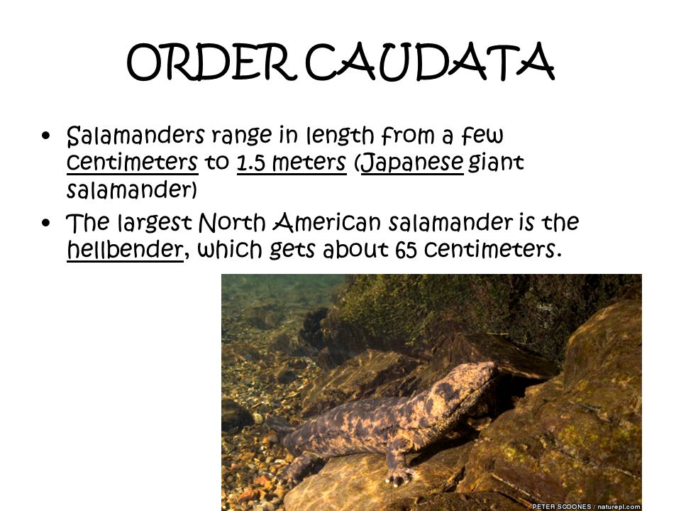 ORDER CAUDATA Salamanders range in length from a few centimeters to 1.5 meters (Japanese giant salamander)