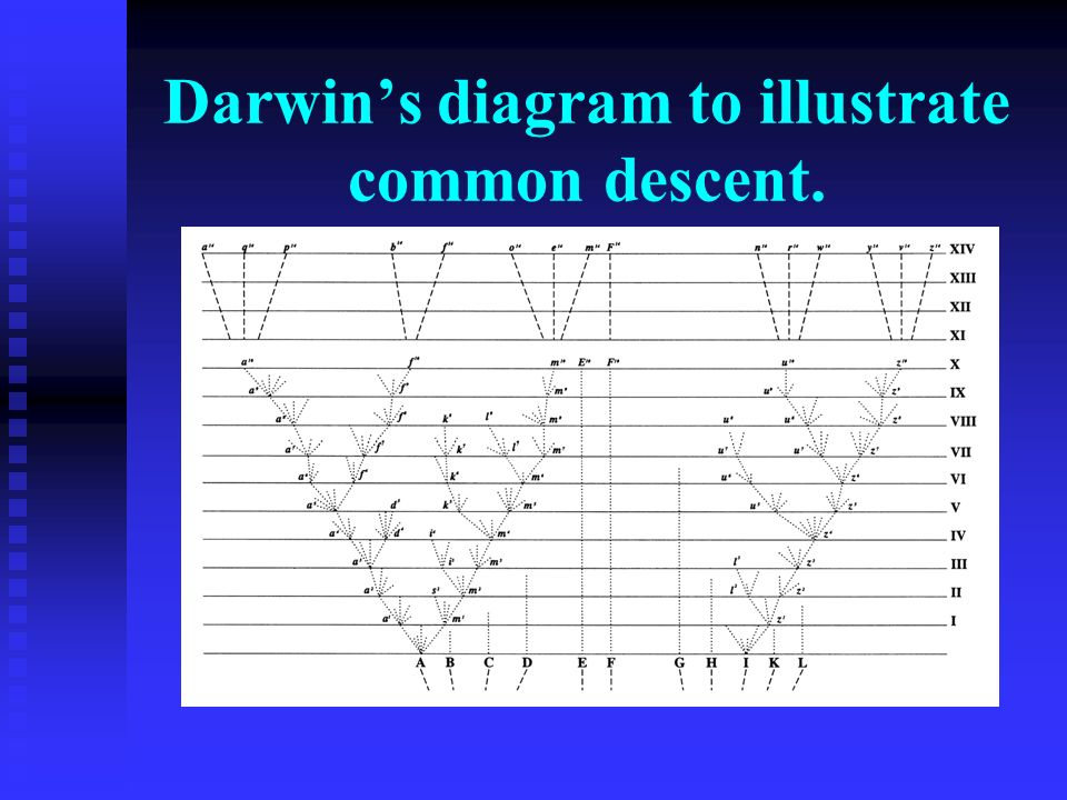 Darwin's diagram to illustrate common descent.