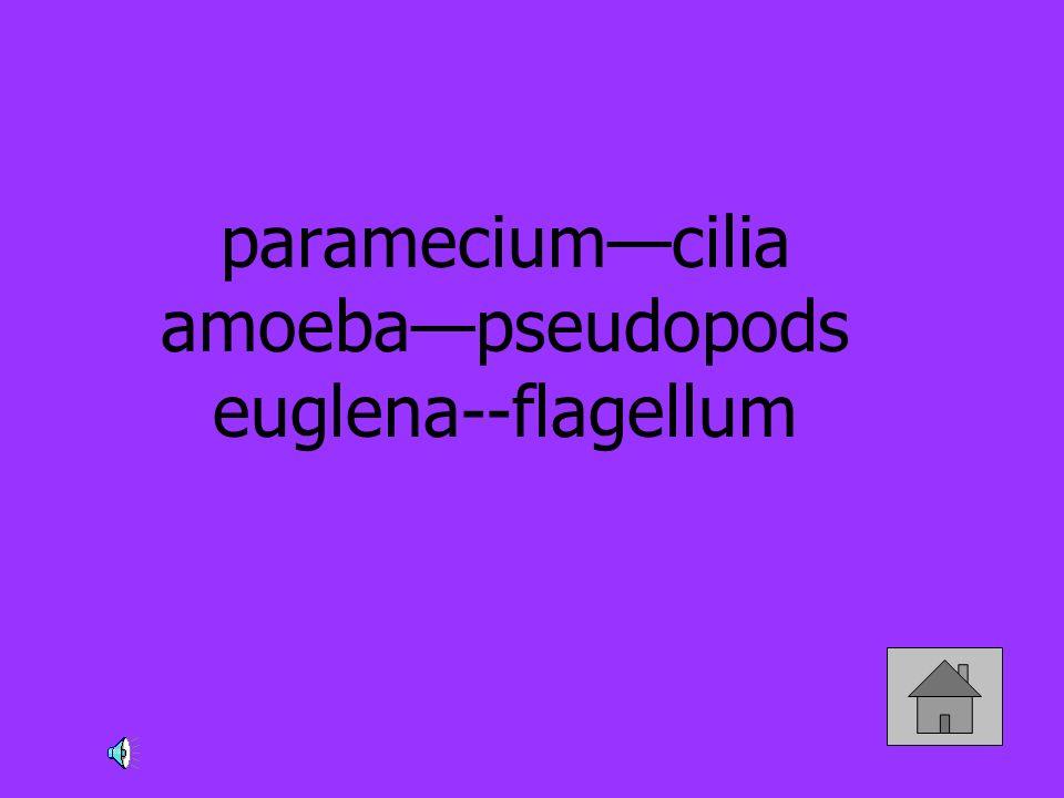 paramecium—cilia amoeba—pseudopods euglena--flagellum