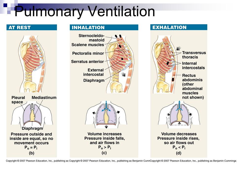 Lung Ventilation System : Respiratory system chapter ppt download