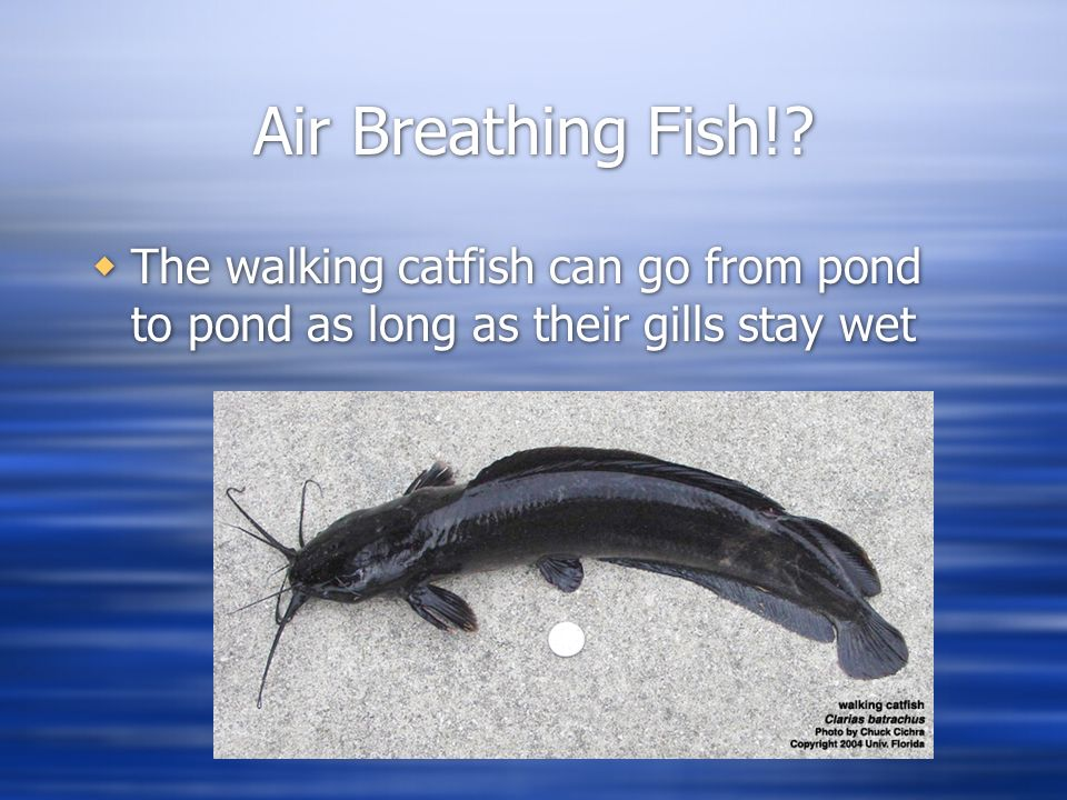 Respiration ppt video online download for Arches related to breathing gills in fish