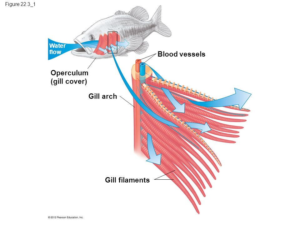 Chapter 22 gas exchange ppt download for Arches related to breathing gills in fish