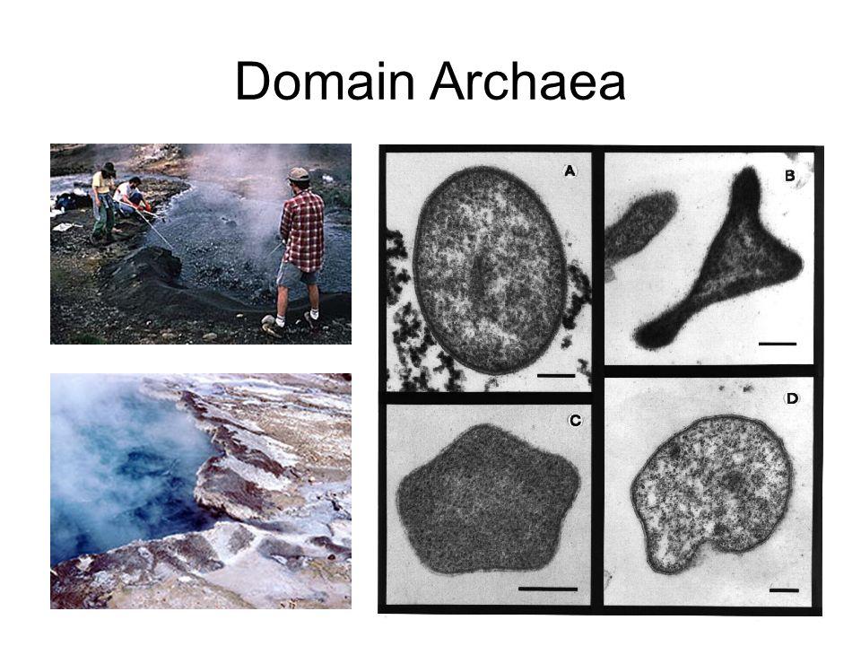 Domain Archaea Formerly part of the kingdom monera
