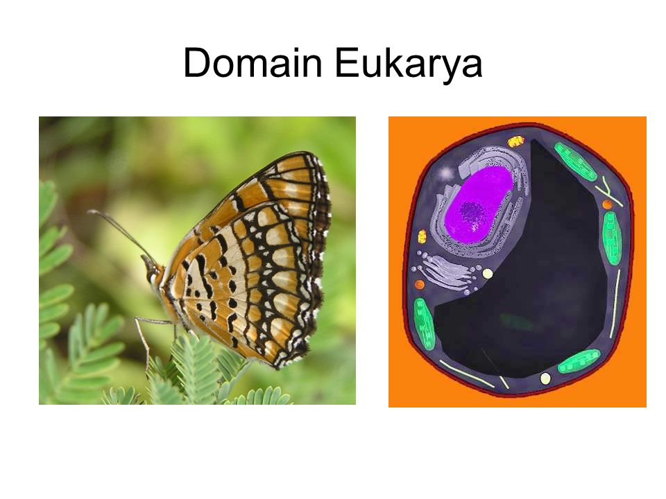 Domain Eukarya Contains all of the eukaryotes (organisms with a nucleus in their cells) Protista. Fungi.