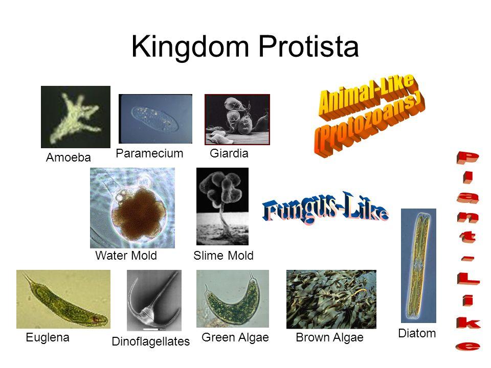 Kingdom Protista Animal-Like (Protozoans) Fungus-Like Plant-Like