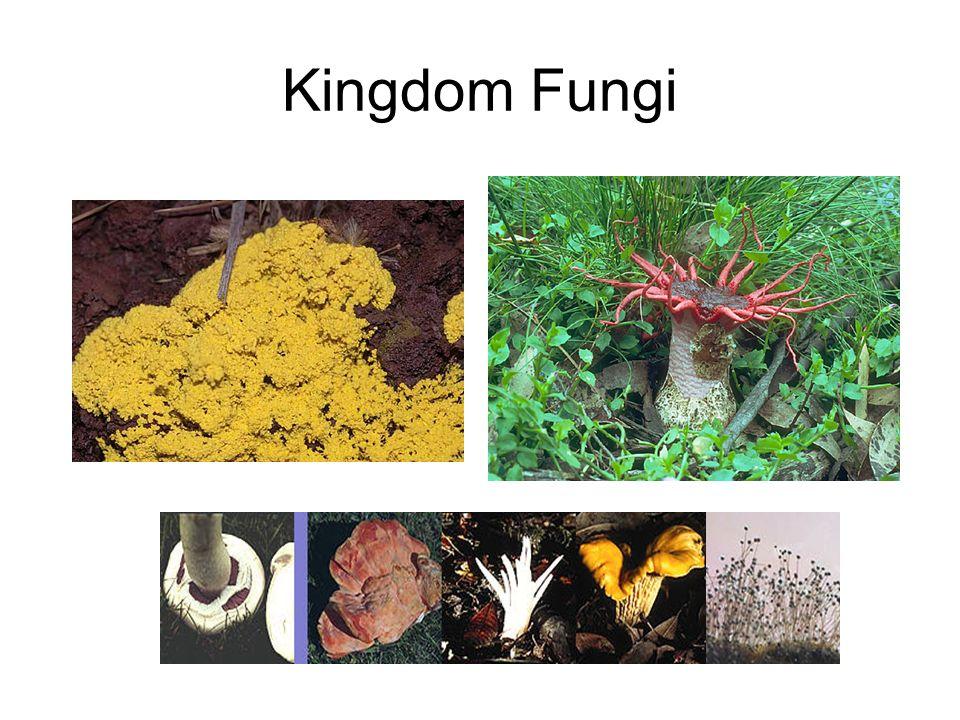 Kingdom Fungi All eukaryotic, multicellular, heterotrophic, sessile organisms. Includes: molds, mushrooms, rusts, lichens.
