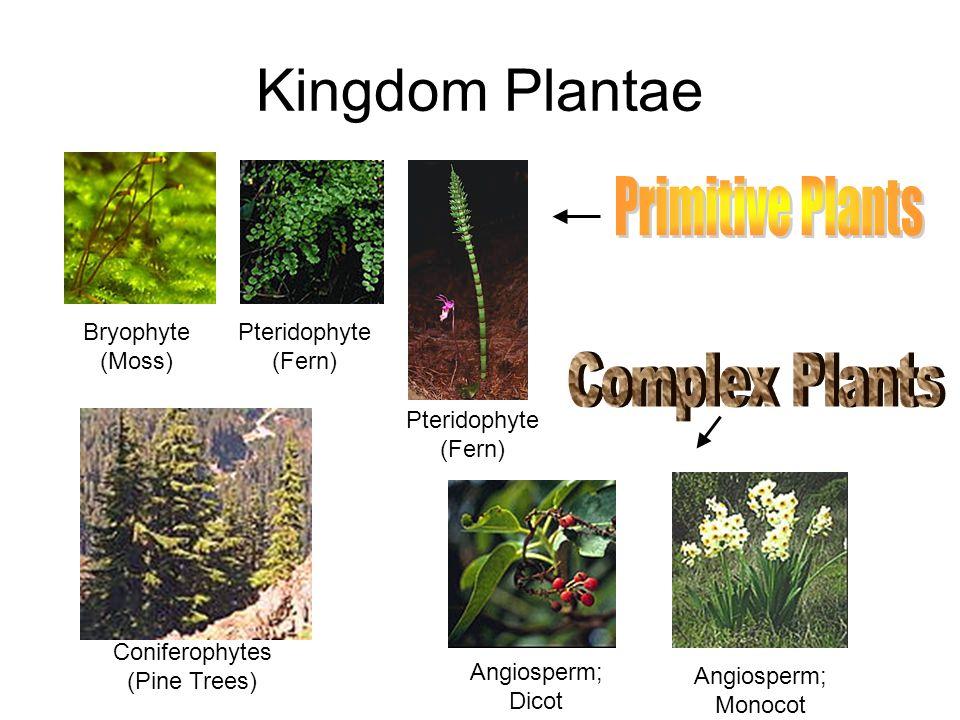 Coniferophytes (Pine Trees)