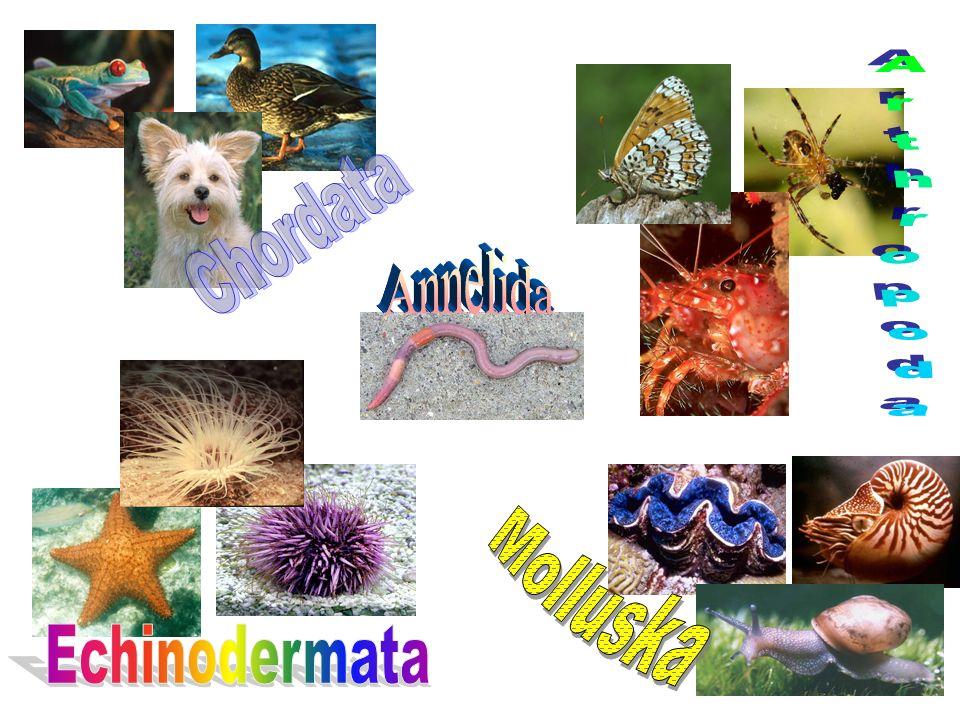 Arthropoda Chordata Annelida Molluska Echinodermata