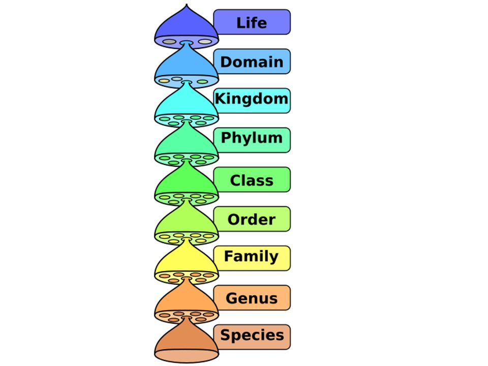 Organisms are grouped into smaller and smaller groups all the way down to their species