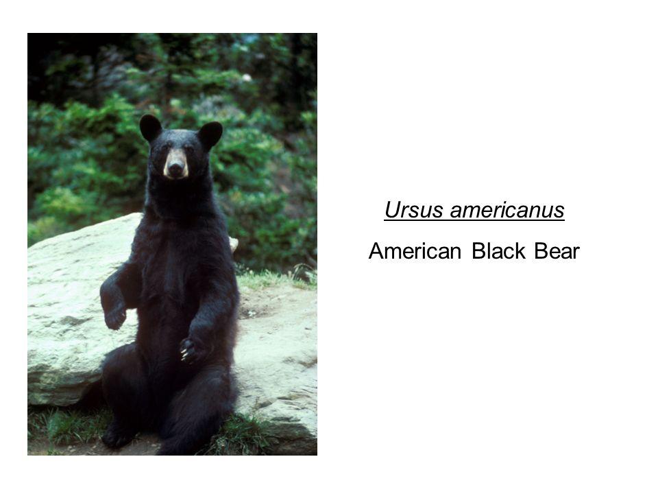 Ursus americanus American Black Bear