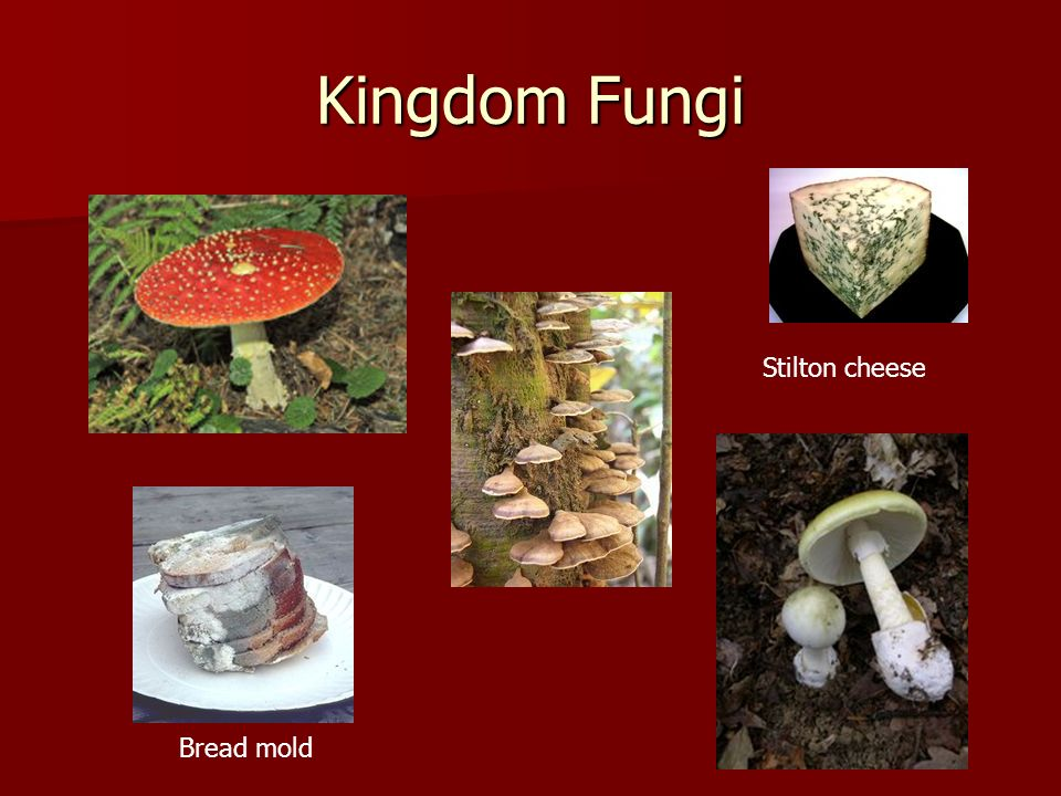 Kingdom Fungi Stilton cheese Bread mold