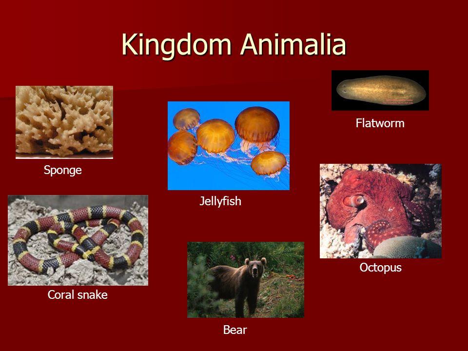 Kingdom Animalia Flatworm Sponge Jellyfish Octopus Coral snake Bear
