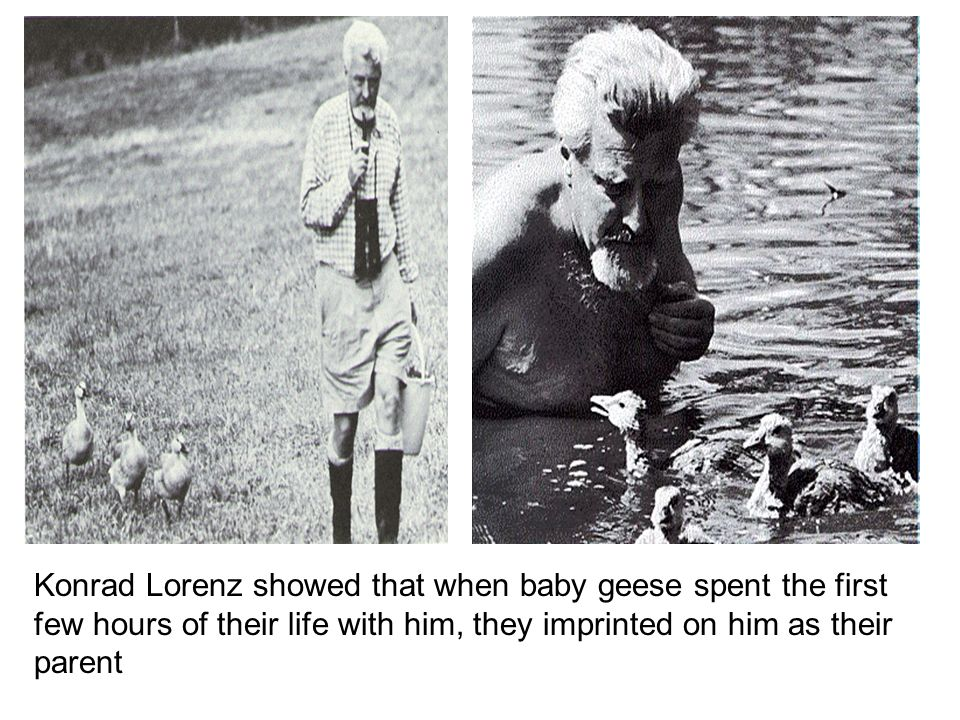 Konrad Lorenz showed that when baby geese spent the first few hours of their life with him, they imprinted on him as their parent