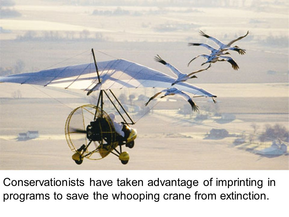 Conservationists have taken advantage of imprinting in programs to save the whooping crane from extinction.
