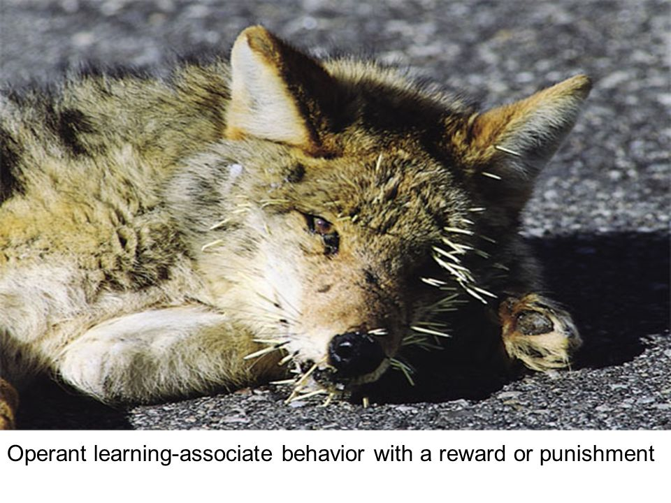 Operant learning-associate behavior with a reward or punishment