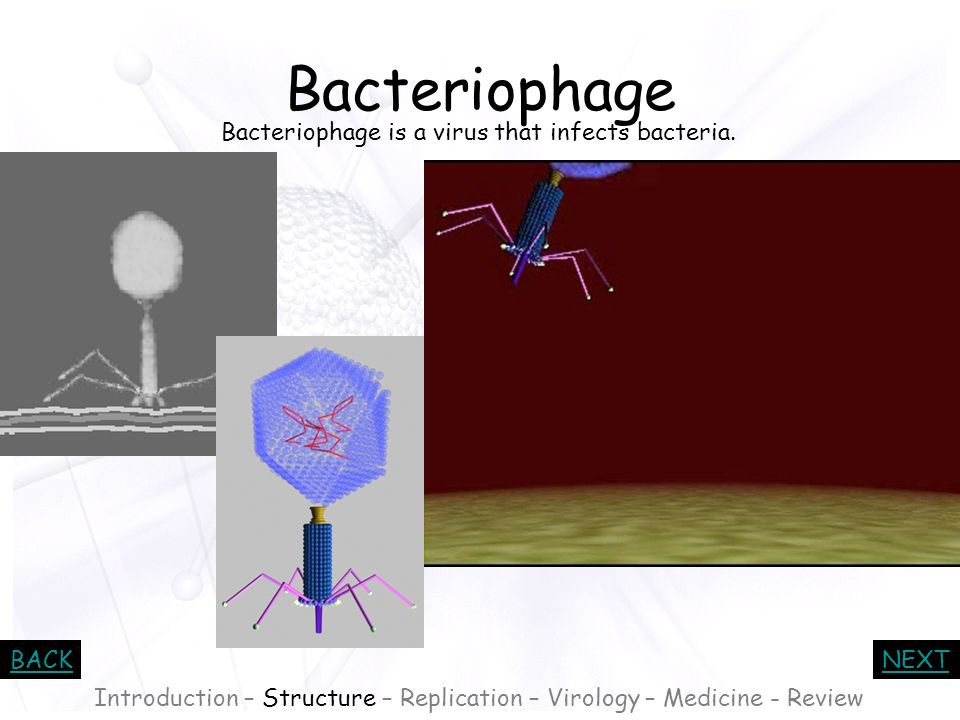 Bacteriophage Bacteriophage is a virus that infects bacteria.