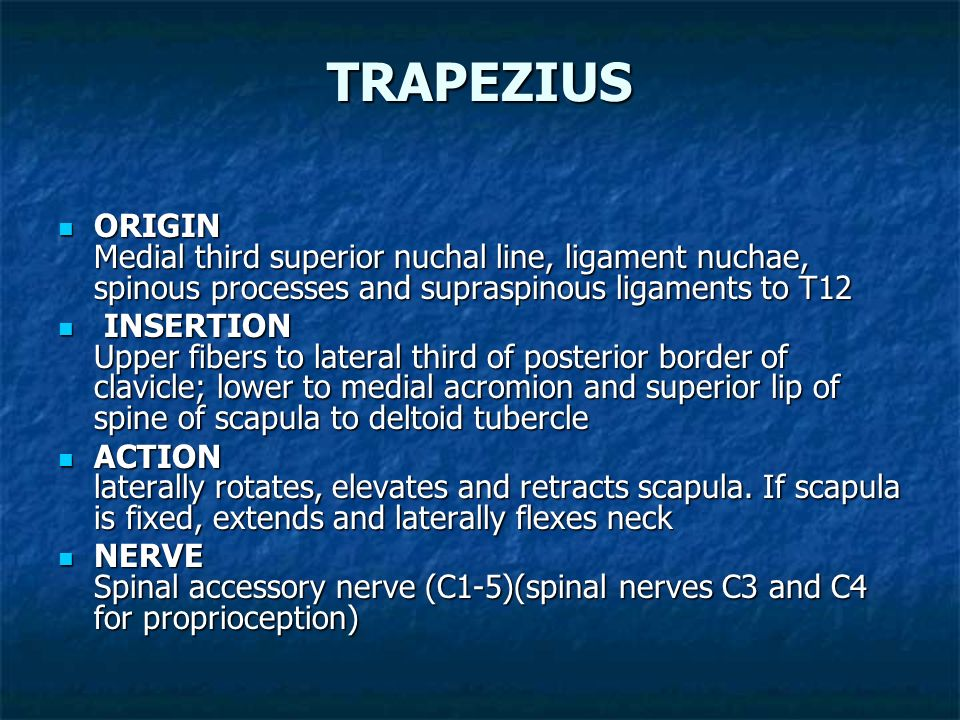 TRAPEZIUS ORIGIN Medial third superior nuchal line, ligament nuchae, spinous processes and supraspinous ligaments to T12.