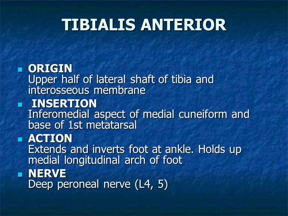 TIBIALIS ANTERIOR ORIGIN Upper half of lateral shaft of tibia and interosseous membrane.