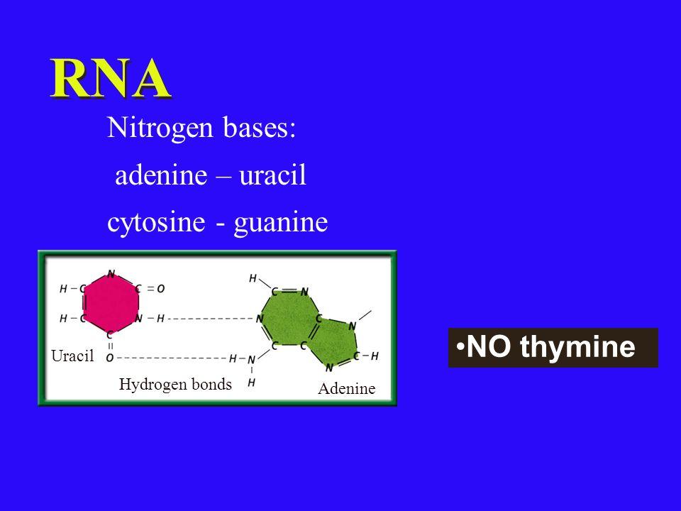 RNA Nitrogen bases: adenine – uracil cytosine - guanine NO thymine