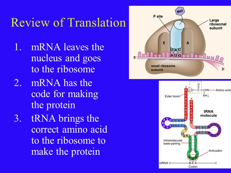 Review of Translation mRNA leaves the nucleus and goes to the ribosome