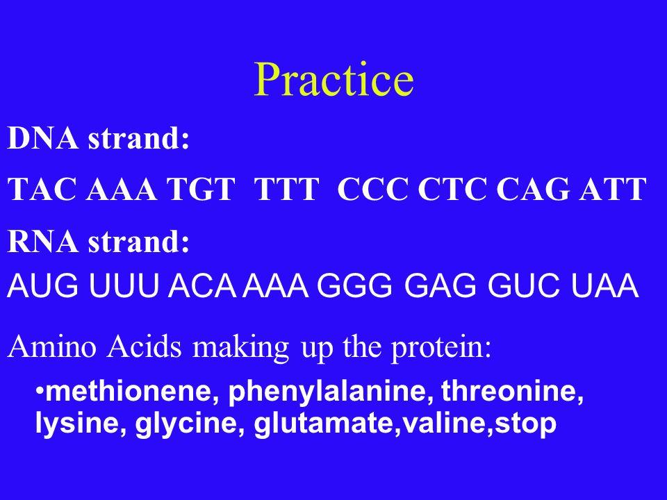Practice DNA strand: TAC AAA TGT TTT CCC CTC CAG ATT RNA strand: