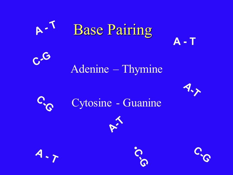 Base Pairing Adenine – Thymine Cytosine - Guanine A - T A - T C-G A-T