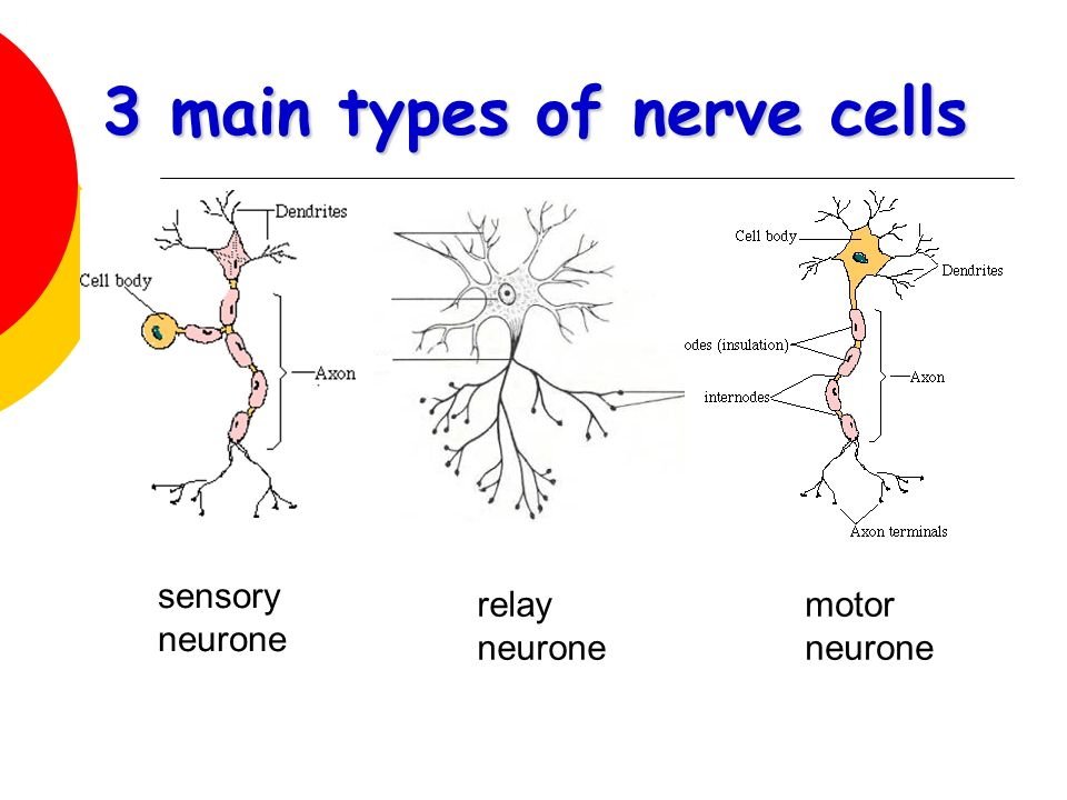3 main types of nerve cells