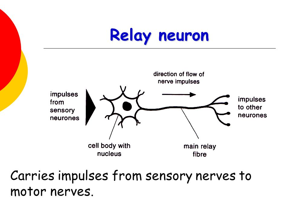 Relay neuron Carries impulses from sensory nerves to motor nerves.