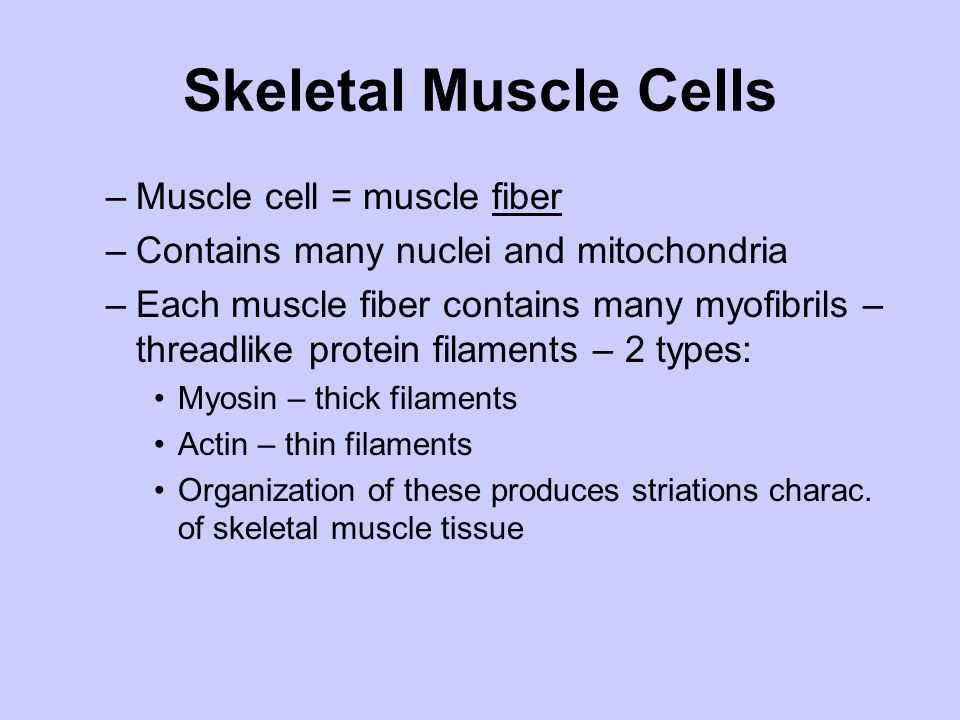 Skeletal Muscle Cells Muscle cell = muscle fiber