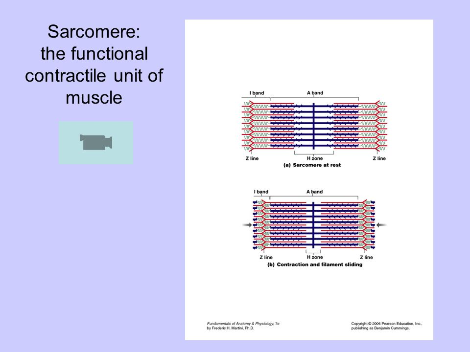 Sarcomere: the functional contractile unit of muscle